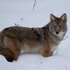 Coyote - Kootenay National Park