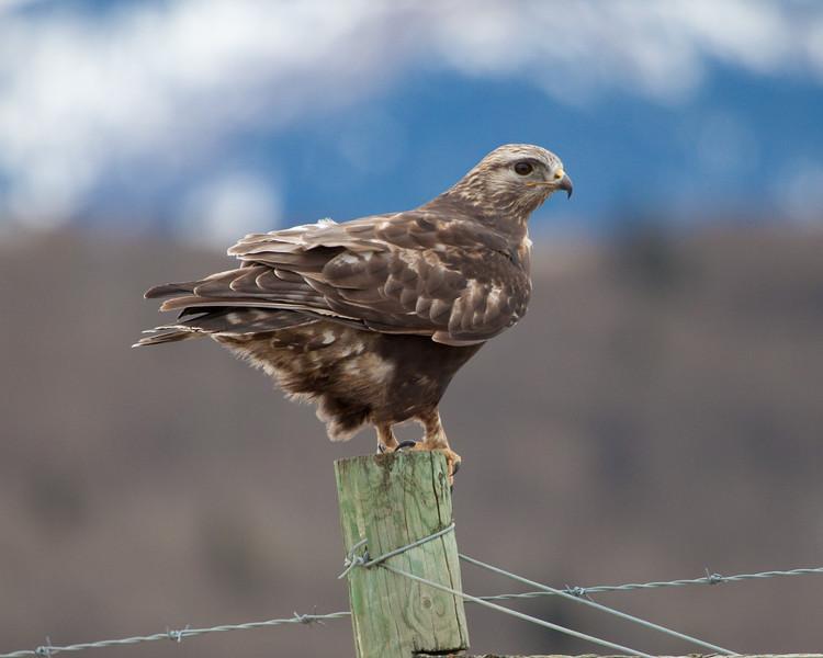 Hawk - Alberta