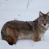 Coyote - Kootenay