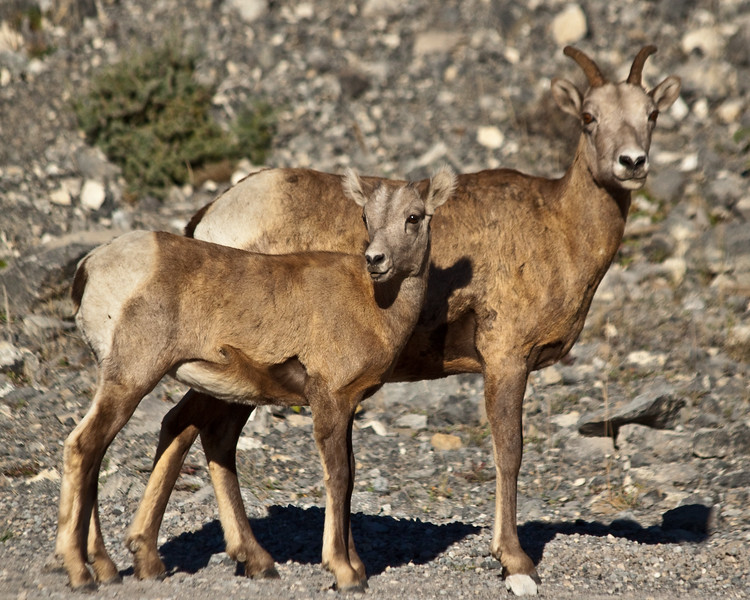 Big horn sheep - Canmore