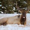 Elk  - Banff
