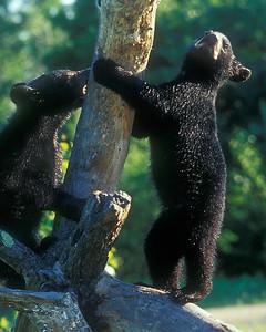 Black bear cubs practice climbing.