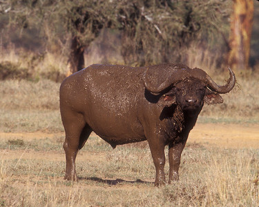 Water buffalo cools after mud bath