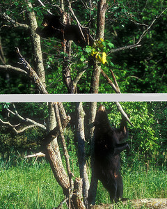 Black bear mom watchs cub climb.  Top picture was horizontal and seconds after the bottom vertical.  Mom was looking up.  Cub moved to better spot.