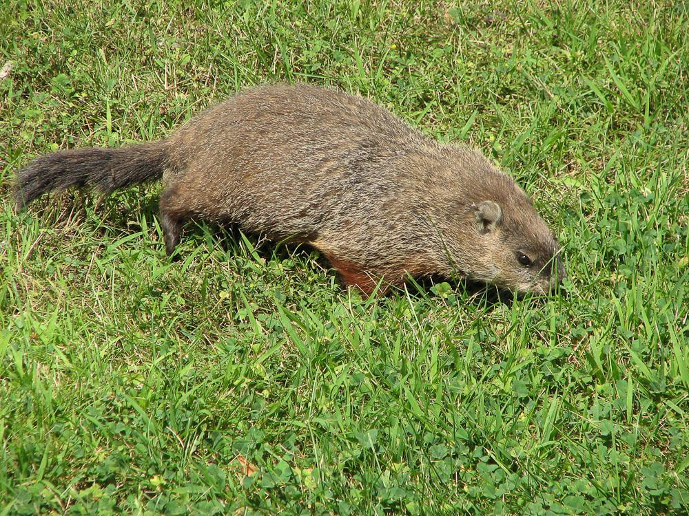 Canadian mammal in Ottawa
