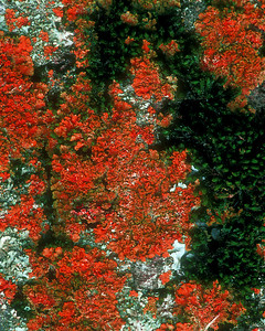 Yellow lichen selected and color changed to red.  I'm colorblind, so selecting a color is a real help when working on photos.  See two other color variations.