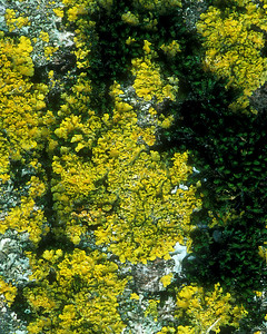 Yellow lichen.  I'm colorblind, so selecting a color is a real help when working on photos.  See two color variations.