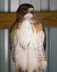 Red tailed hawk, most common hawk in US