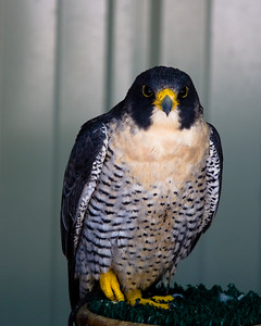 Perigrine falcon looks at me
