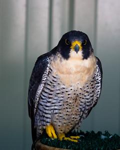 Perigrine falcon looks at me