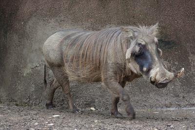 Wart hog in zoo, tail down