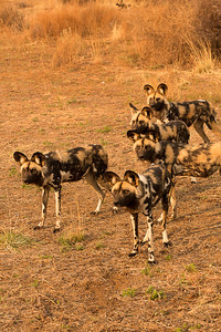 Pack of African Wild Dogs, there were 14 in all, Namibia