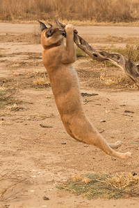Caracal doing chin-ups for meat