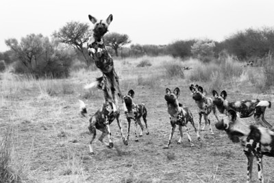 African Hunting Dogs Leaping for Food