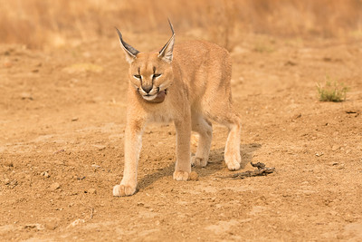 Caracal with tracking necklace