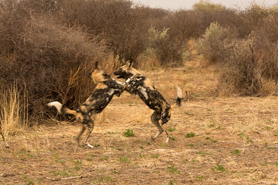 African Wild Dogs in dominance fight