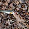 Southern Watersnake Swallowing Fish