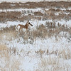 Pronghorn & Sagebrush