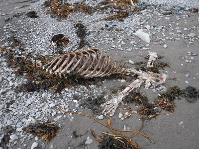 COOLEST THING SO FAR - a sea lion skeleton!!!!
