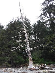 Cool dead tree...  wonder how much longer it'll stay standing