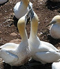The world'slargest Northern Gannet colony is on Bonaventure Island (a national park) which has about 60,000 nesting pairs.