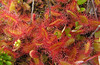 The sundew plant - also insectivorous.