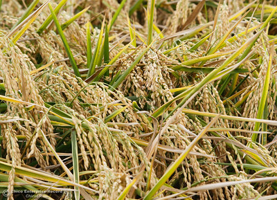 Annual rice harvest begins on Sligar Farms - MNG-Chico