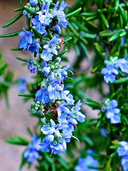 Rosemary - Backyard