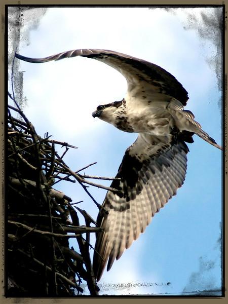2011 Osprey at Pequot Lakes, Minnesota