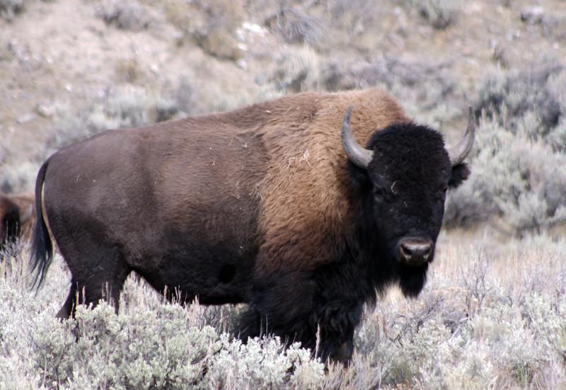 Yellowstone Bison -2012
