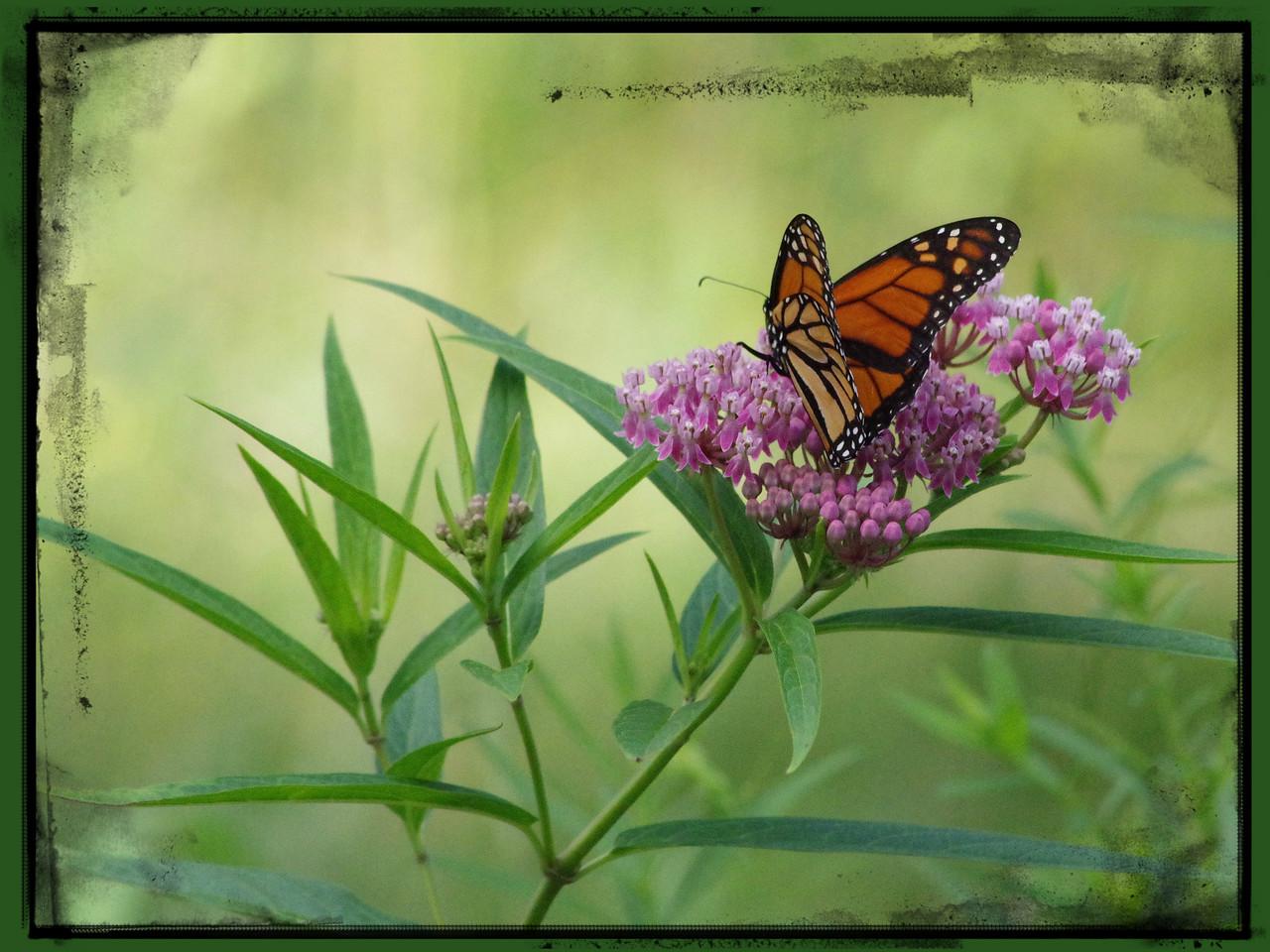 Monarch in Joy Park