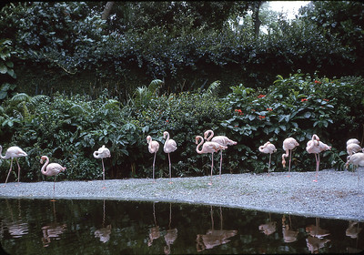 Real Florida Flamingos