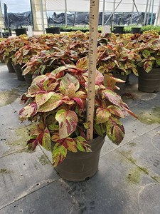 2 gal Mighty Mosaic Coleus