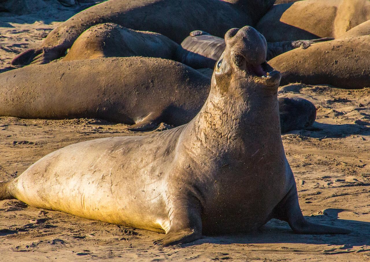 Elephant seals-0111