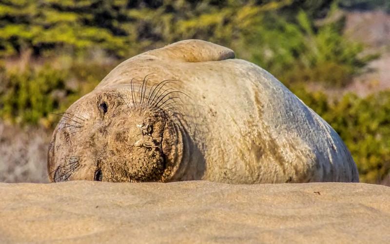 Elephant seals--2