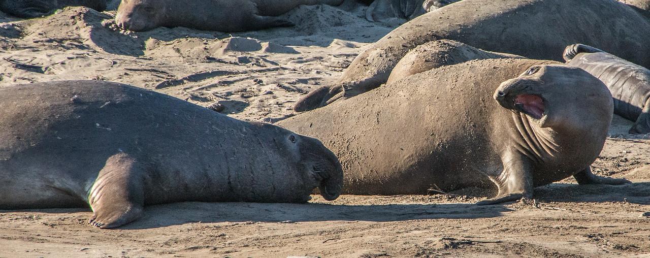 Elephant seals-0084