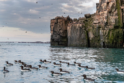 Thousands of common guillemots nest on these cliffs feeding in the ocean everyday and returning to feed their young