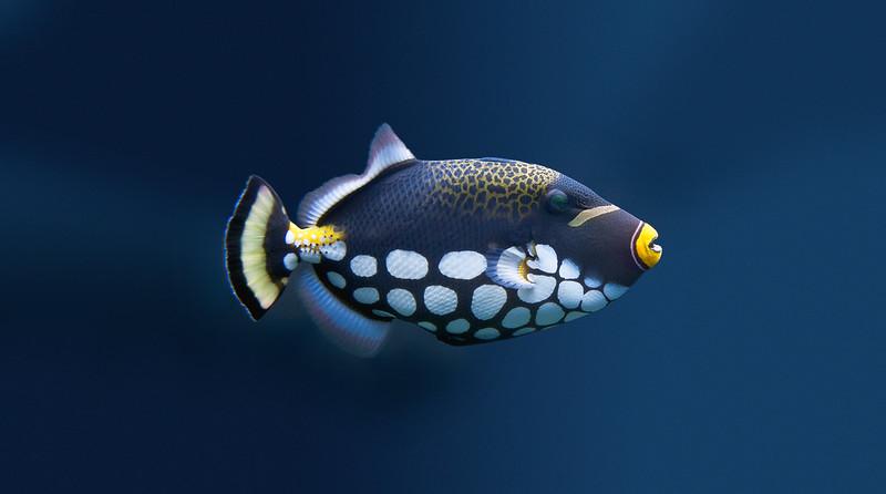 Coral fish, live