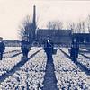 An0084 <br /> Vlnr.: Gerard van der Ploeg (van de Gouverneurlaan), Jan van der Hulst, Toon van Dijk, Jan Kortekaas en Bert Elferink van 'het Wespennest'. De melkfabriek van Gerrits is later omgebouwd tot stoomwasserij 'Hollandia' van de fam. van Niekerk (van de Gouverneurlaan). Rechts een klein stukje van de bollenschuur van de Gebr. Bergman te zien. Het bollenland is van Arie en Gerrit Rotteveel. Zie ook boekje 'Kent U ze nog... de Sassenheimers van A.M. Hulkenberg, blz.10). Foto: 1915.