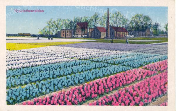 An0083 <br /> Hyacintenvelden rond 1920 aan de zuidkant van de Teijlingerlaan. Rechtsboven zien we de Teijlingerlaan. We kijken in noordelijke richting op de melkfabriek van Gerrits, later stoomwasserij 'Hollandia'. Erachter zien we nog net de Ruine van Teylingen. Links is de bollenschuur van de gebr. Bergman te zien. De foto is genomen vanaf een plek waar nu ongeveer de Westerstraat is. Op de plaats van de hyacintenvelden zijn later o.m. de Westerstraat, de Frank van Borselenstraat, de Slotlaan en de Lansiershof gekomen.