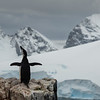 Chinstrap penguin in the Antarctic