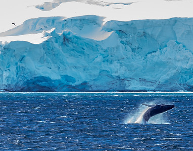 A breaching Humpback whale (Megaptera novaengliae).  In Antarctica's on the English Strait in the South Shetland Islands between Greenwich Island and Robert Island.  The Humpback is the most abundant baleen whale in the waters around the Antarctic Peninsula feeding primarily on Antarctic krill (Euphausia superba).  It has the largest flippers of all whale species measuring up to one-third of its body length.
