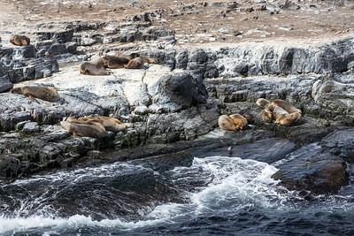 Sea Lions (Otaria flavescens) on Las Islas de los Lobos, Beagle Channel, Tierra del Fuego, Argentina.