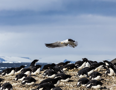A marauding  kelp gull (Larus dominicanus austrinus) seeking to disturb the nests of Adélie penguins (Pygoscelis adeliae.).   Also known as a Dominican gull, a name derived from the Dominican order of friars and their black and white habits.  On Vega Island overlooking the Erebus and Terror Gulf northwest of the James Ross Island group.  Antarctica