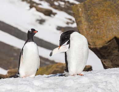 Gentoo penguin (Pygoscelis papua) near Brown Bluff on the Tabarin Peninsula, Antarctic Sound of the Weddell Sea southeast of the Antarctic Peninsula.   The gentoo penguin is the third largest species of penguin after the two giant species, the Emperor Penguin and the King Penguin.