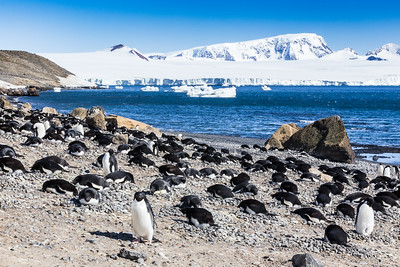 Nesting Adélie penguins (Pygoscelis adeliae) near Brown Bluff on the Tabarin Peninsula, Weddell Sea, southeastern side of the Antarctic Peninsula.  Adélie penguins are only found along the Antarctic coast living on barren islands and during winter congregate on large icebergs. Swim up to 50 offshore miles per day. Diet: krill, some fish. Main predator: leopard seals.  The Adélie penguins breed from October to February. Adélies build rough circular nests of stones. Two eggs are laid, these are incubated for 32 to 34 days by the parents taking turns (shifts typically last for 12 days). The chicks remain in the nest for 22 days before joining crèches (aka nurseries). The chicks moult into their juvenile plumage and go out to sea after 50 to 60 days.