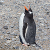 The long-tailed Gentoo Penguin (Pygoscelis papua). The third largest species of penguin after the two giant species, the Emperor Penguin and the King Penguin. Gentoos reach a height of 20 to 35 inches and weigh 11 to 19 lbs.<br /> <br /> Near Brown Bluff on the Tabarin Peninsula, Weddell Sea, southeastern side of the Antarctic Peninsula.
