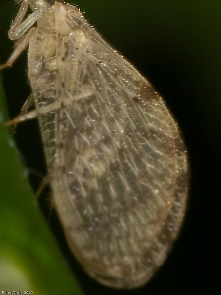 Wesmaelius sp. Possibily W. subnebulosus or W. nervosus. - Wing detail Copyright Peter Drury 2010