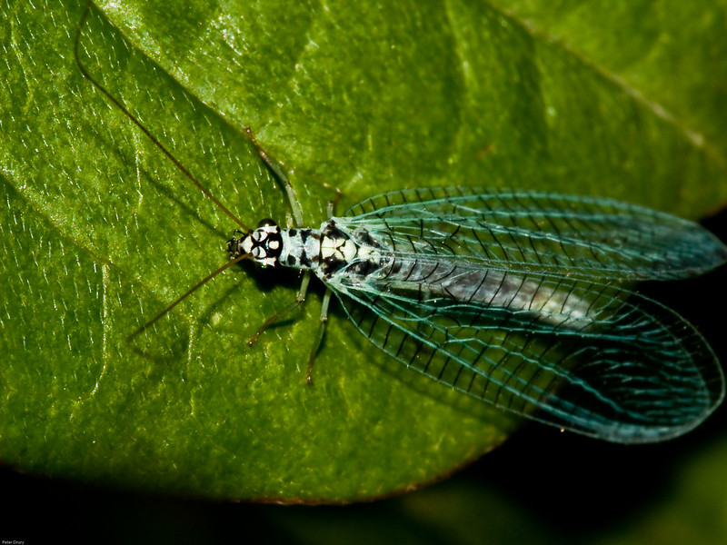 Green Lacewing (Chrysopa perla) Copyright 2009 Peter Drury