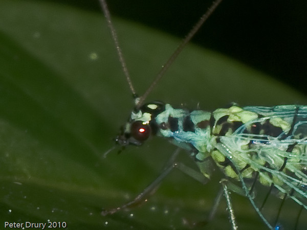 Chrysopa Perla - head detail. Copyright Peter Drury 2010